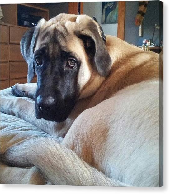 Mastiffs Canvas Print - My Gorgeous Puppy! (almost 5 Months) by Julieta Garcia