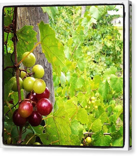 Grapes Canvas Print - My #grapes Are Starting To Ripen! by Adriana Ospina