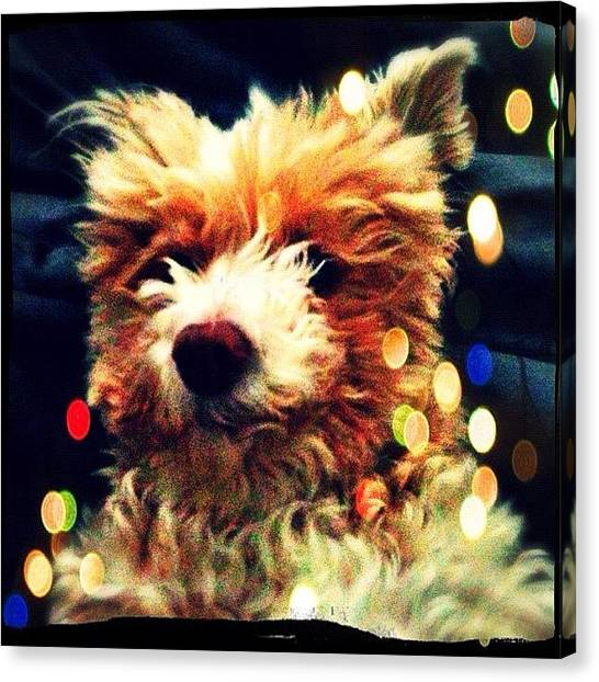 Poodles Canvas Print - My Magical Daisy by Kim Cafri