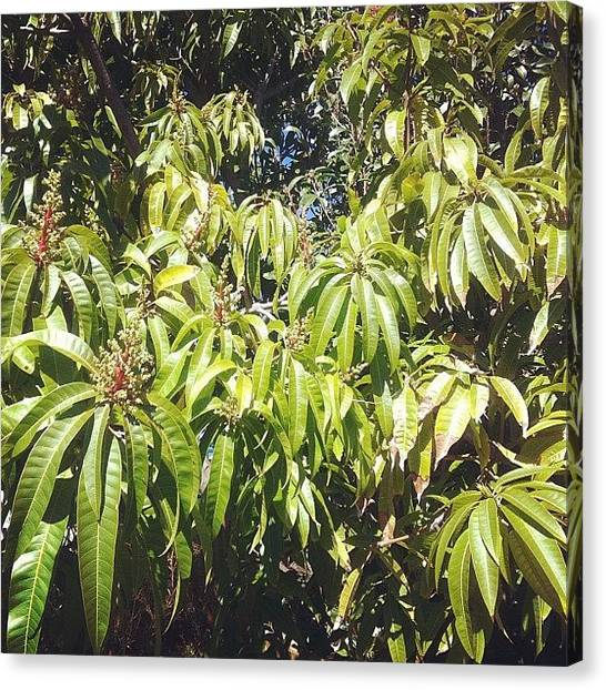 Mango Tree Canvas Print - My #mango #tree...cannot Wait To See by Shirley  Sutandhio