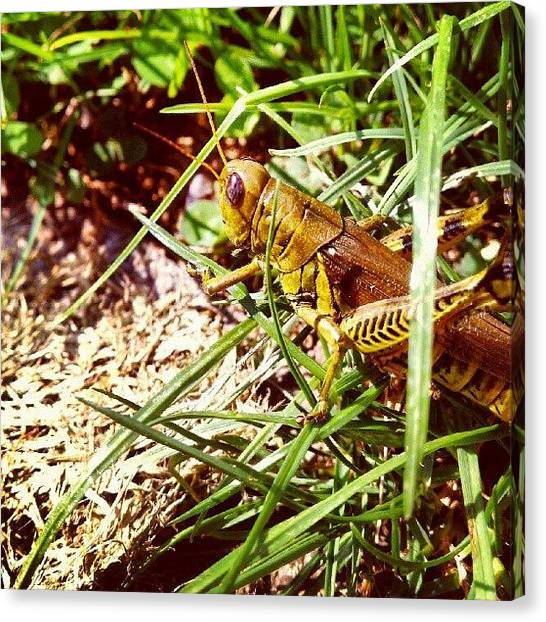 Grasshoppers Canvas Print - My New Friend, Gregory The by Nicole Ulrich