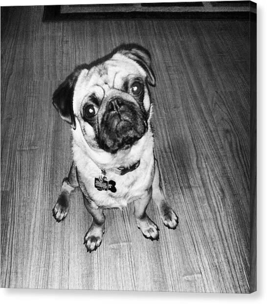 Pugs Canvas Print - My Otis !  #dog #pug #puglife #puglove by Oliver Parker