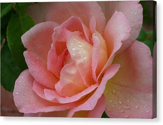 My Pink Rose Canvas Print by Connie Koehler