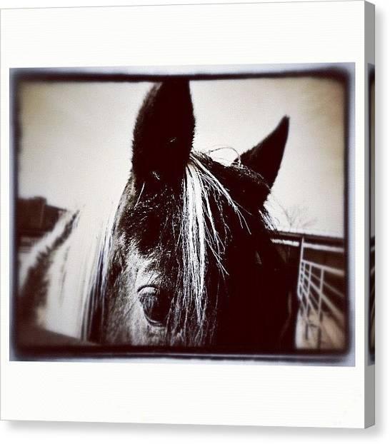 Horses Canvas Print - My Pinto Neighbor by Paul Cutright