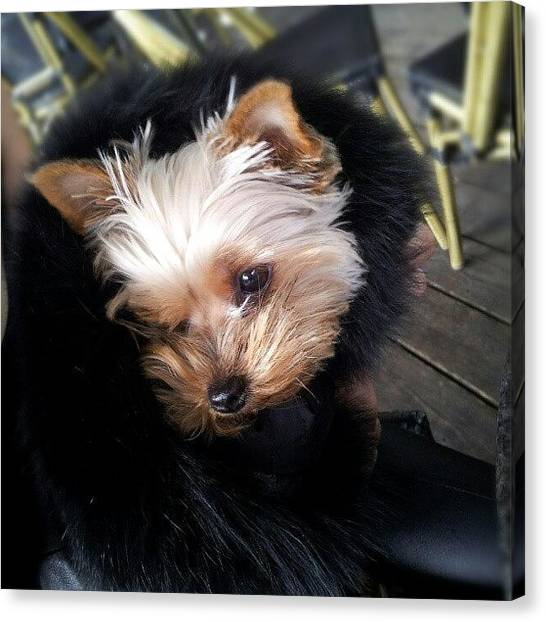 Princess Canvas Print - My #princess #dog #yorkie by Torbjorn Schei