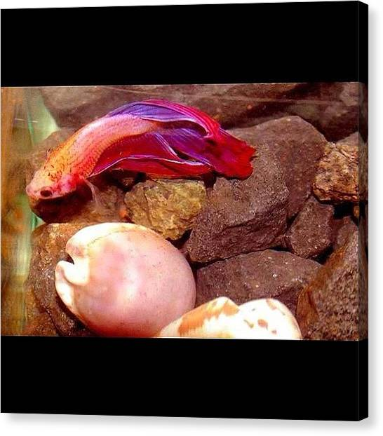 Aquariums Canvas Print - My Purple/pink Fighting Fish by Ica Mercado 💋