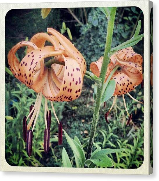 Rain Canvas Print - My Tiger Lilies Bloomed After The #rain by Melissa Wyatt