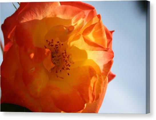 My Yellow Orange Rose Canvas Print by Connie Koehler
