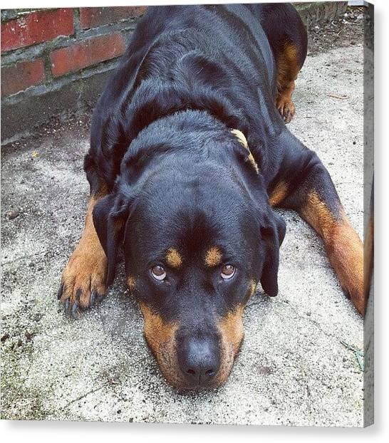 Rottweilers Canvas Print - N'a Rien Fait. C'est Pas Moi by Branchard  Arnaud