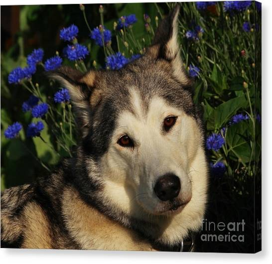 Huskie Canvas Print - Nanuk In The Garden by Marjorie Imbeau