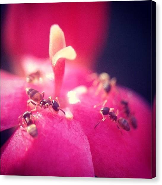 Ants Canvas Print - #nature #ant #flower #leaf #macro by Sooonism Heng