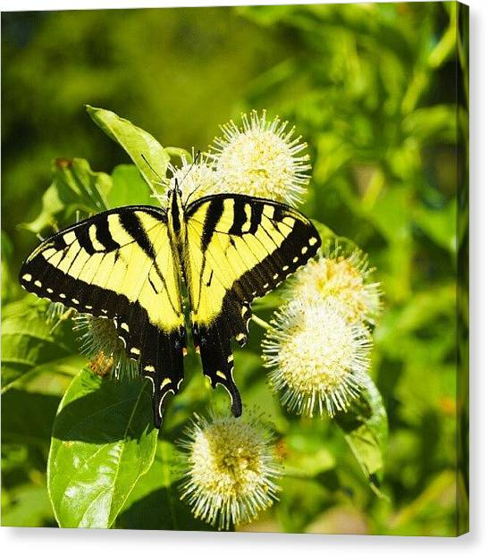 Arkansas Canvas Print - #nature #butterfly #bug #yellow #wings by Dusty Anderson