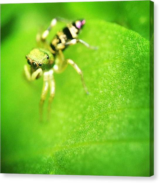 Spiders Canvas Print - #nature #insect #iphonesia #spider by Sooonism Heng
