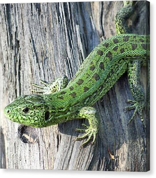 Lizards Canvas Print - #nature #lizard by Andrey Suchkov