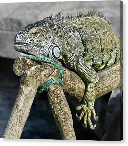 Iguanas Canvas Print - #nature #lizard #iguana by Andrey Suchkov