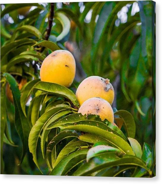 Peaches Canvas Print - #nature #peaches #homegrown #tree by Dusty Anderson