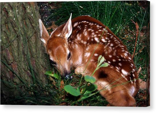 White-tailed Deer Canvas Print - Nature's Precious Creation by Skip Willits