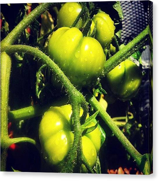 Tomato Canvas Print - Need Sunshine To Turn Red! by Dave Frost