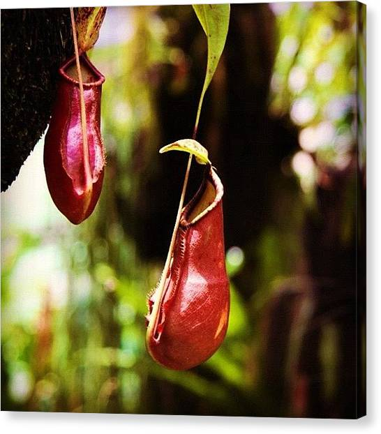 Hunting Canvas Print - #nepenthes #bicalcarata #insects #plant by Omar Alzaabi