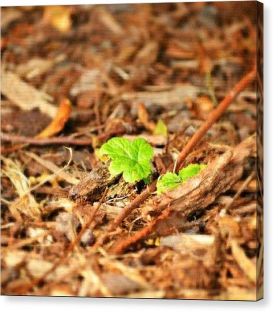 Innocent Canvas Print - New Sprout #green #brown #wood #leaf by Sabrina Raber