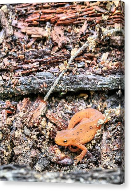 Newts Canvas Print - Newting To See Here by JC Findley