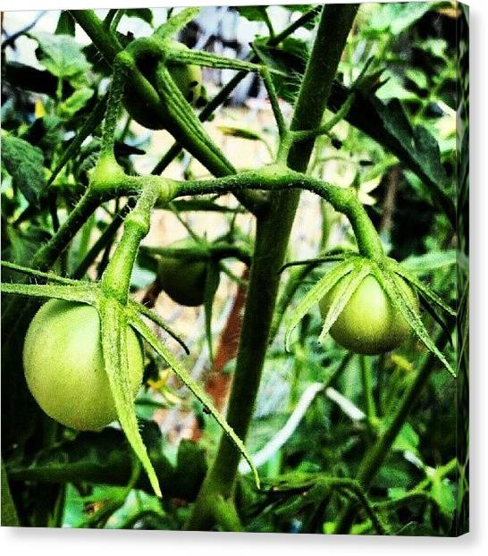 Tomato Canvas Print - Next Ones... The First Ones Were #yum by Fernando Ostos