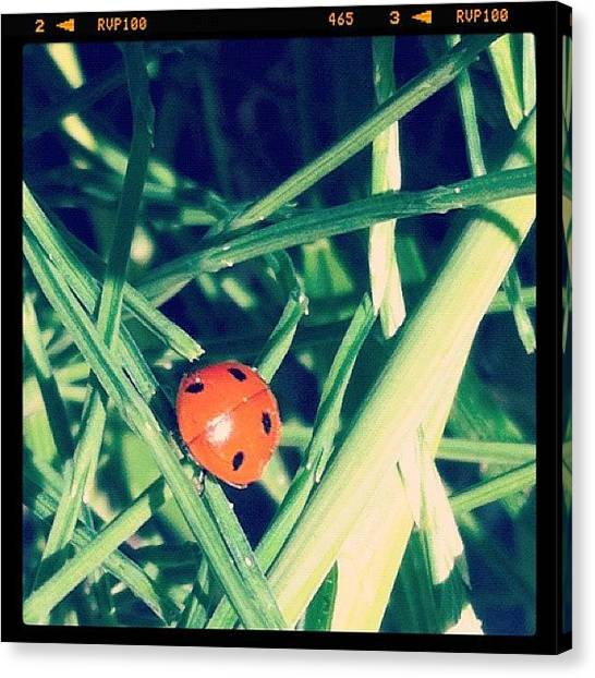 Ladybugs Canvas Print - #nice #beautiful #ladybug In The by Tarek Aly