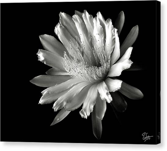 Night Blooming Cereus In Black And White Canvas Print