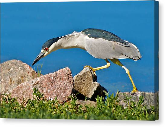 Night Heron At Ketring Lake Canvas Print