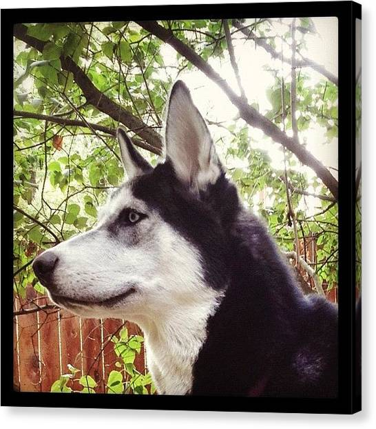Huskies Canvas Print - Nikita Is Almost Full Grown... Hardly by Daniel  Ware