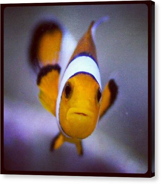 Aquariums Canvas Print - #nimo #reef #fish #clownfish #animals by Raz Schweitzer