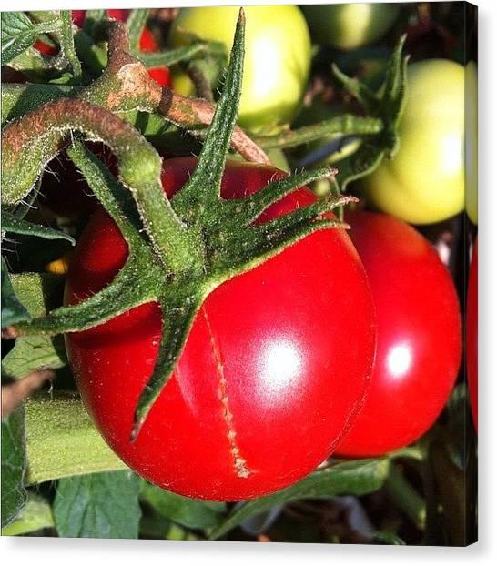 Tomato Canvas Print - #noedit #sun #tomato #food #red #garden by Marko Kramaric