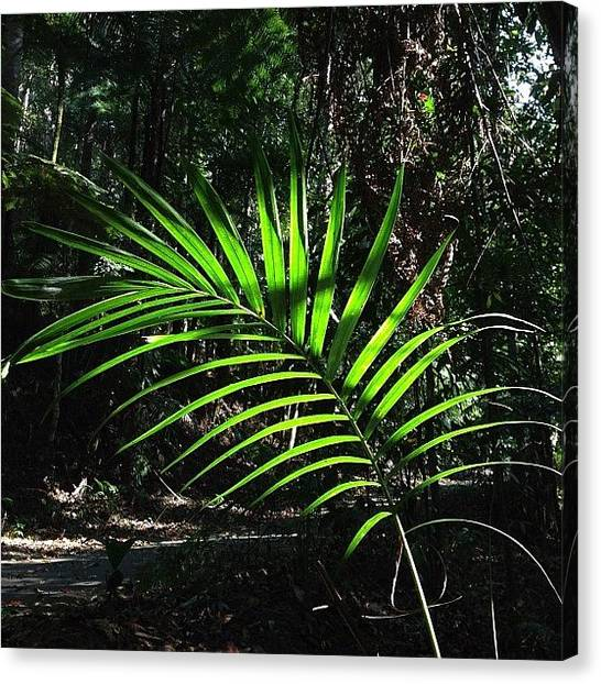 Rainforests Canvas Print - #nofilter #mtcougal #palm by Tony Keim
