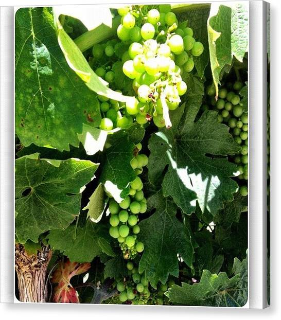 Grapes Canvas Print - #nofilter Only #squaready #napa by Debi Tenney