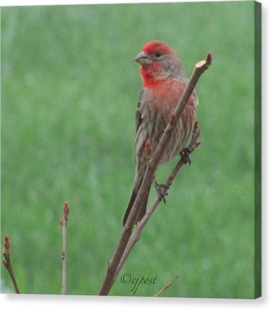 Finch Canvas Print - #nofilter Pretty Little Male by Cynthia Post
