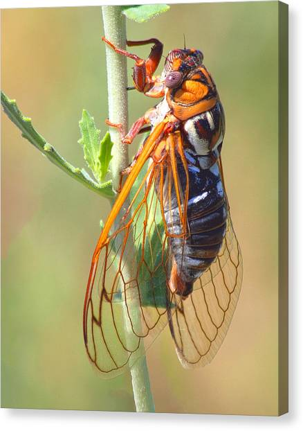 Noisy Cicada Canvas Print