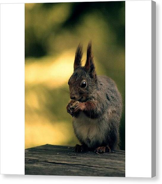 Squirrels Canvas Print - Nomnom #photooftheday #tweegram #igers by Robin Hedberg