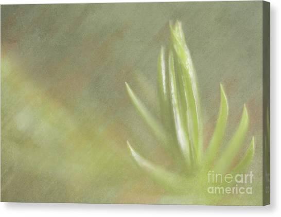 Norfolk Pine Tip Canvas Print