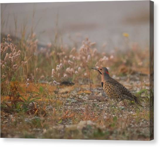 Northern Flicker Canvas Print - Northern Flicker  by Susan Capuano