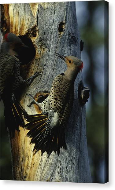 Northern Flicker Canvas Print - Northern Flickers Fight Over Nesting by Michael S. Quinton