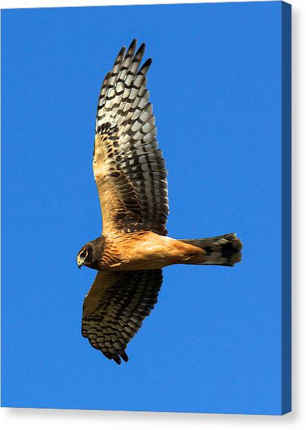 Northern Harrier Hawk Canvas Print