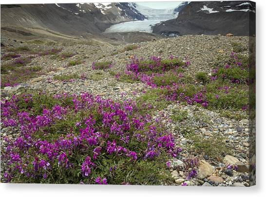 Canada Glacier Canvas Print - Northern Sweet Vetch (hedysarum Boreale) by Bob Gibbons