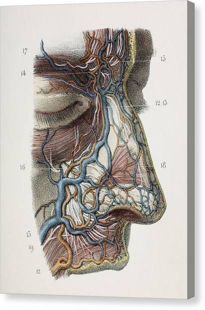 Nose Nerves And Vessels, 1844 Artwork Canvas Print by
