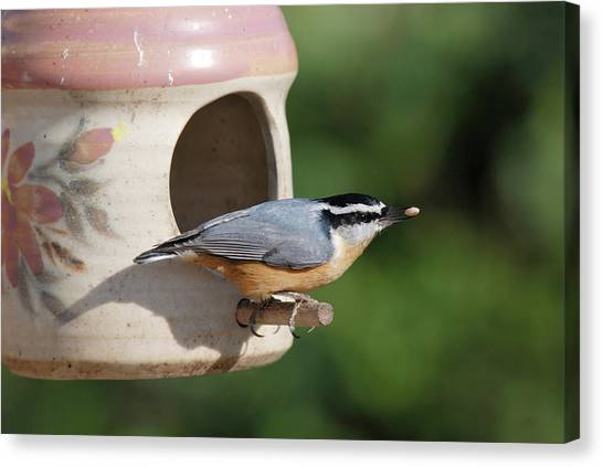 Nuthatch At Feeder Canvas Print
