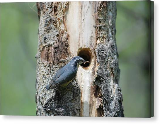 Nuthatch Feeding Young Canvas Print