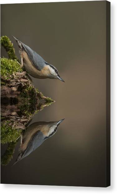 Nuthatch Reflection Canvas Print