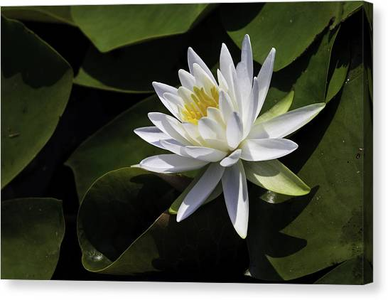 Nymphaea Marliacea 'albida' Canvas Print