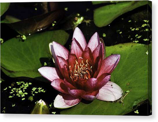 Canvas Print featuring the photograph Nymphaea 'steven Strawn' by Perla Copernik