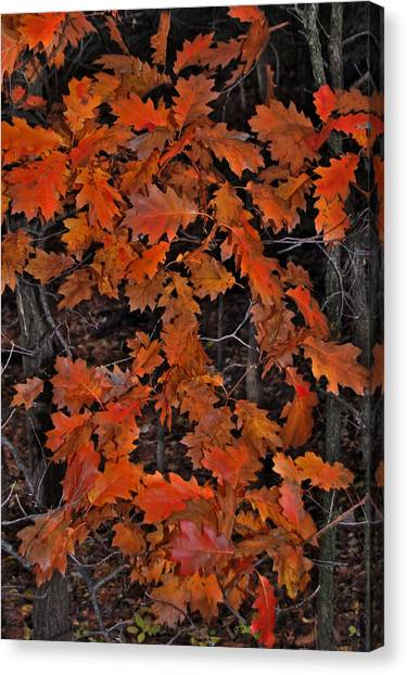 Canvas Print - Oak Leaves At Schram Park. by Randall Templeton