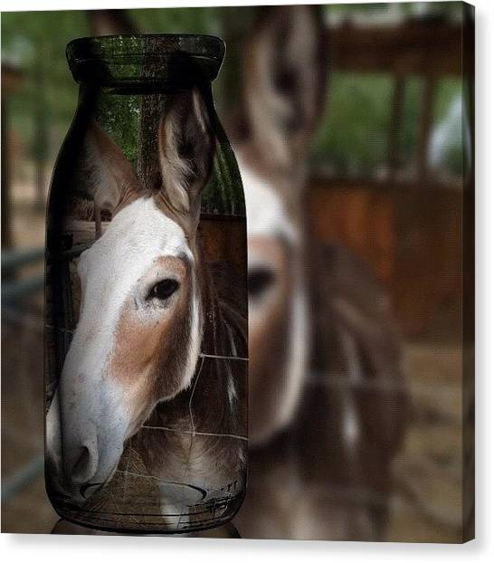 Donkeys Canvas Print - 🐴obama🐴 ::: #fotorus #tagstagram by Debbie Hearn